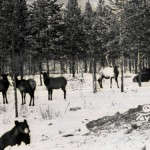 Elk at Toad River