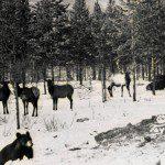 Elk at Toad River